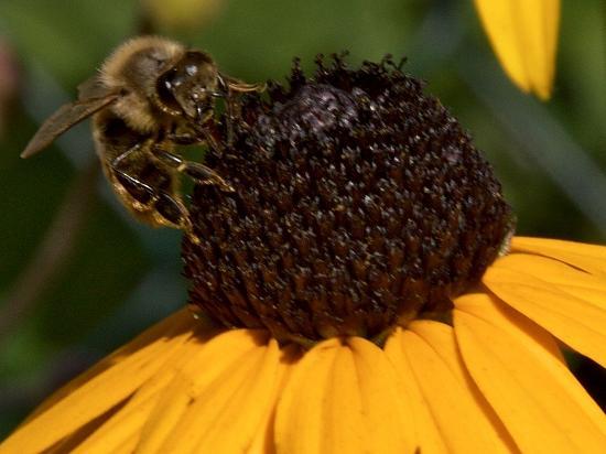 Biene im Spätsommergarten